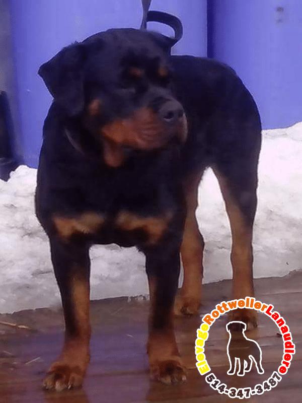Charlotte, chien femelle Rottweiler