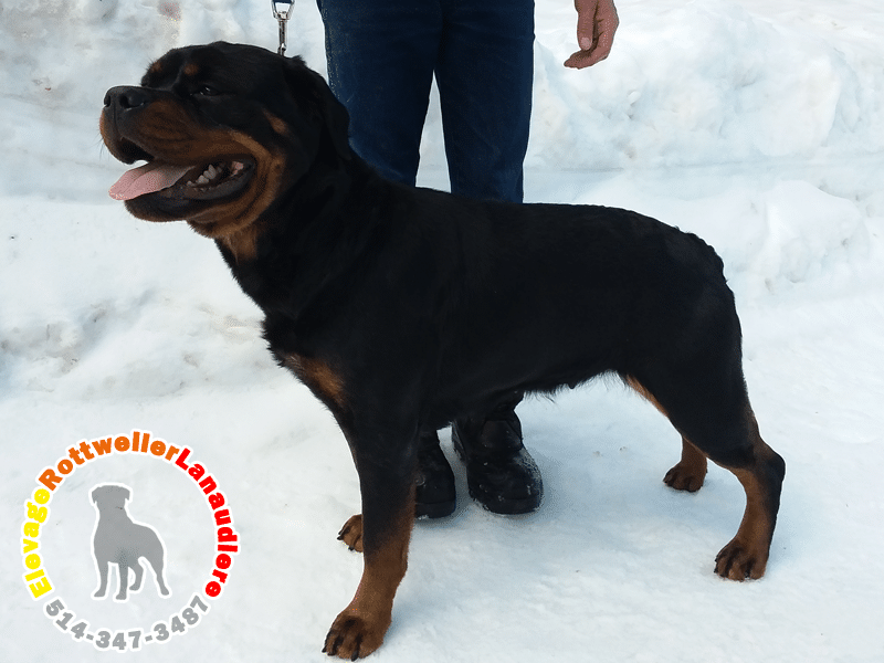 Princesse, chien femelle Rottweiler