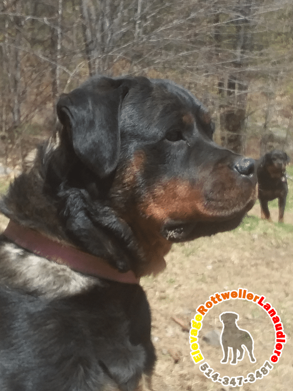 Sophie, chienne femelle Rottweiler