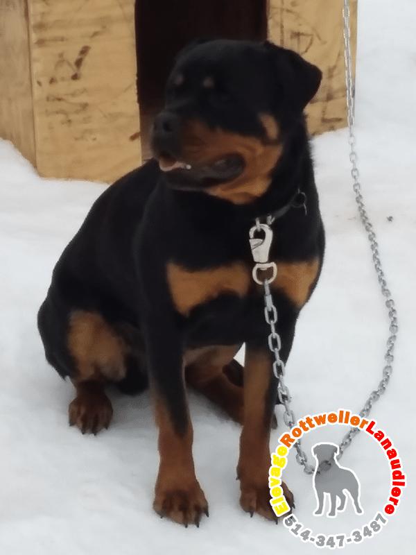 Polof, chien mâle Rottweiler.