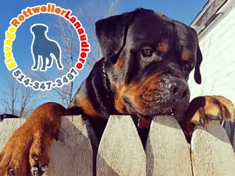 Volkswagen, chien mâle Rottweiler