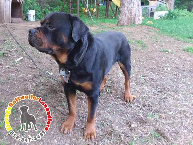 chien-male-geniteur-rottweiler-volkswagen-06